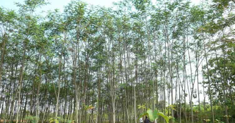hoax pohon sengon pln penyebab mati listrik - posciety