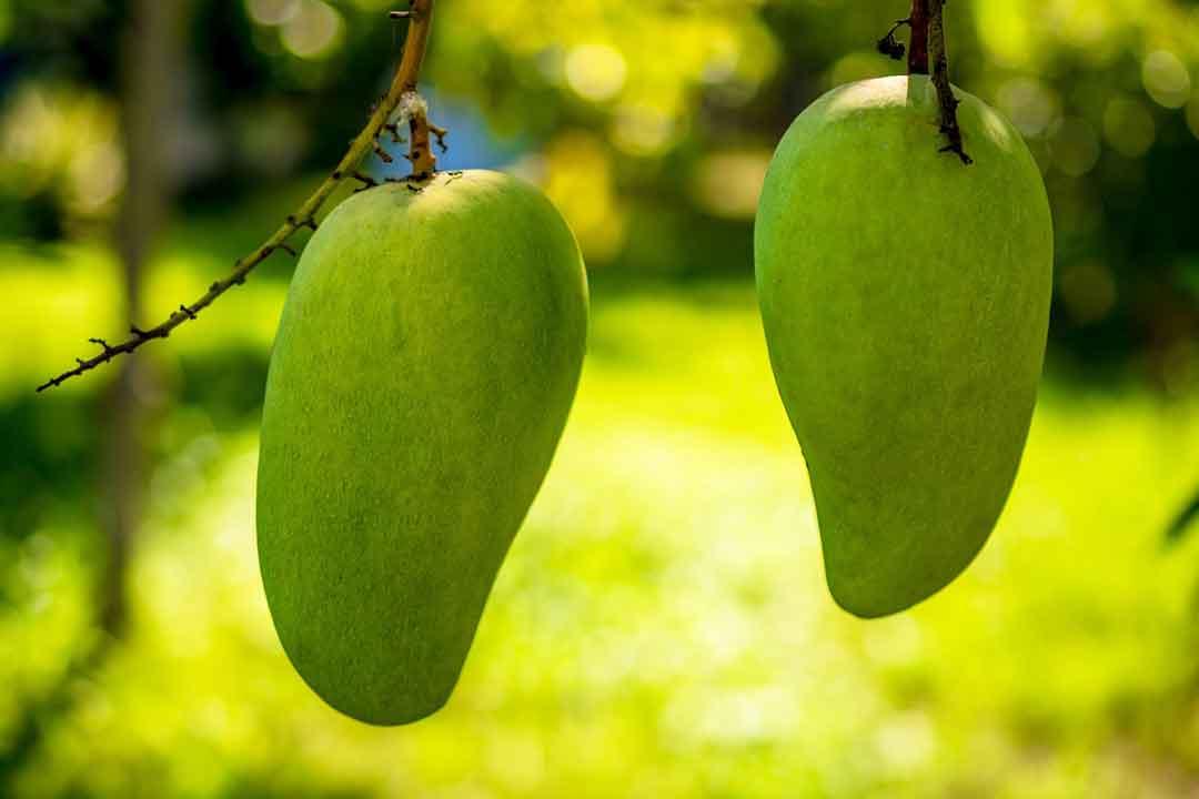 manfaat buah mangga untuk kesehatan asma - posciety