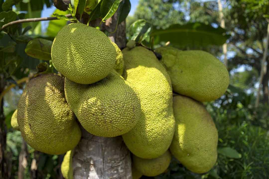 manfaat buah nangka - posciety