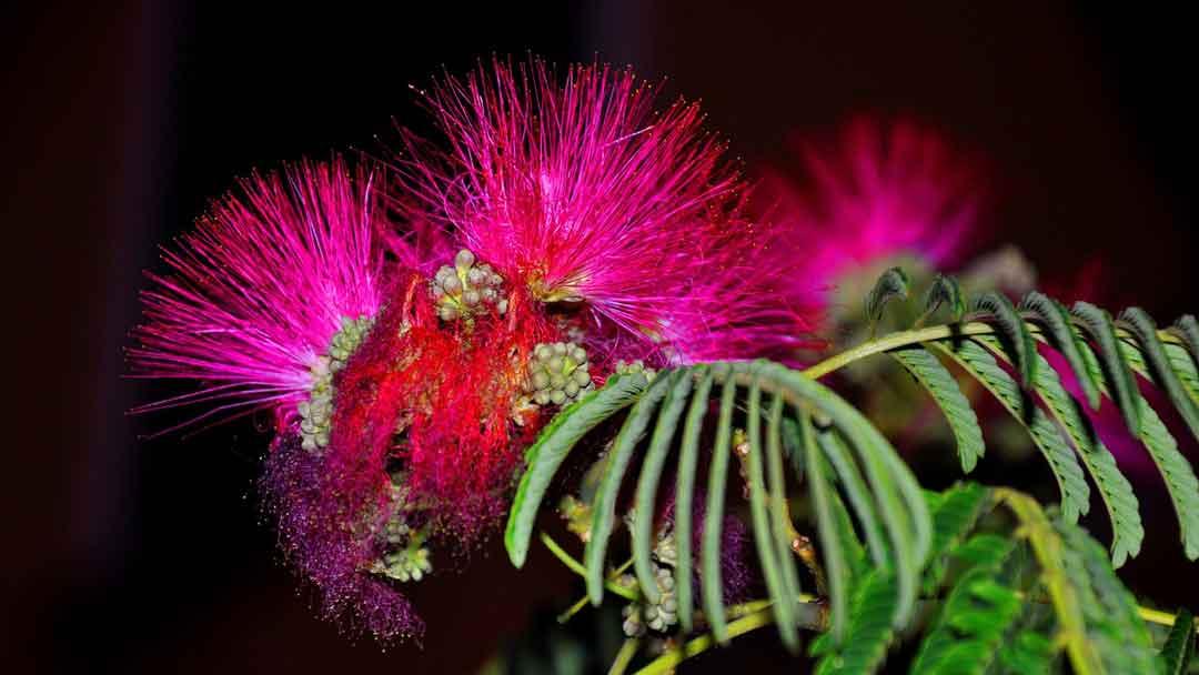 manfaat mimosa putri malu bagi kesehatan tubuh - posciety