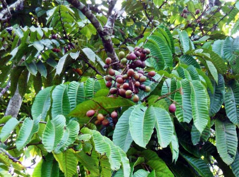 manfaat buah matoa bagi manusia - posciety