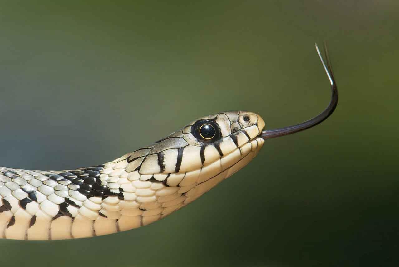 pertolongan gigitan ular berbisa - posciety